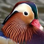 caralina-duck