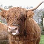 scottish-highland-cow